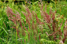 Семена овсяницы красной - 1 кг