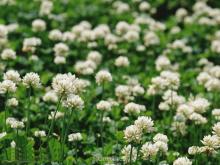 Семена клевера белого - 1кг