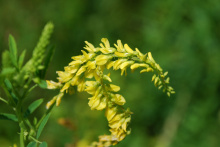 Семена донника желтого двухлетнего - 1 кг