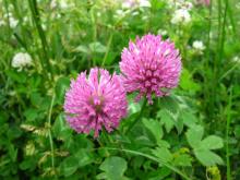 Семена клевера розового - 1 кг