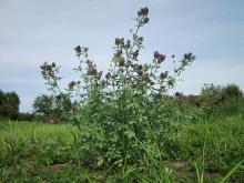Семена люцерны изменчивой - 1 кг